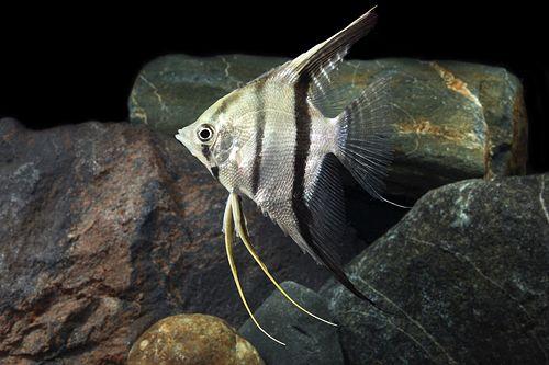angelfish - Pterophyllum scalare, Amazon