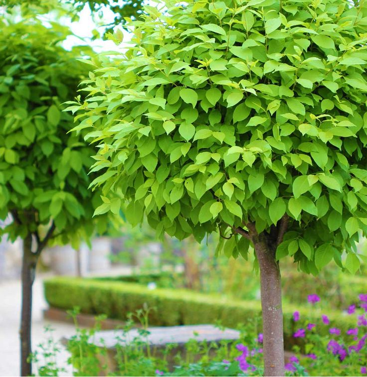 Choose Catalpa Speciosa for large heart shaped leaves, a  fast grower, yellow and white flowers in late June. Grow your own from seed.   https://sheffields.com/seeds-for-sale/Catalpa/speciosa///////381/Northern-Catalpa,-Western-Catalpa,-Northern-Cigar-Tree,-Catawba-Tree,-Hardy-Catalpa/Northern-Catalpa,-Western-Catalpa,-Northern-Cigar-Tree,-Catawba-Tree,-Hardy-Catalpa