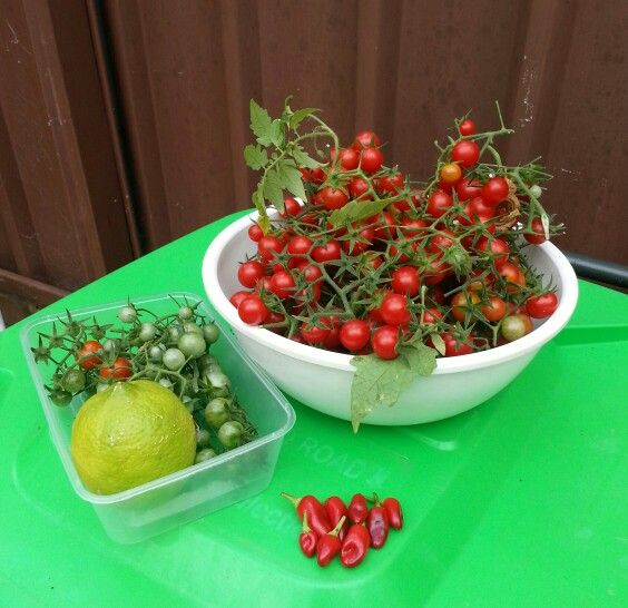 This week's harvest of tomatoes, chillies and a lemon