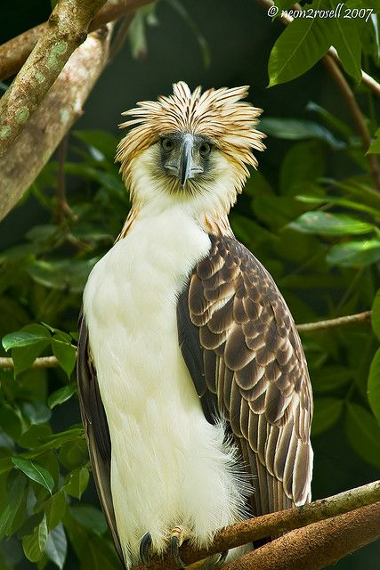 "Philippine Eagle with Rod Stewart ""do"" xoxoxoxo"
