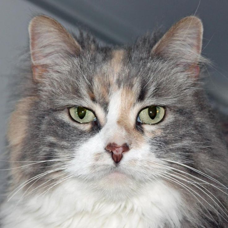 Meet Chelli ( declawed ), a Petfinder adoptable Domestic Long Hair Cat | Eau Claire, WI | Chelli is a calm, spayed, friendly, and front-paw-declawed female who joined our shelter on April...