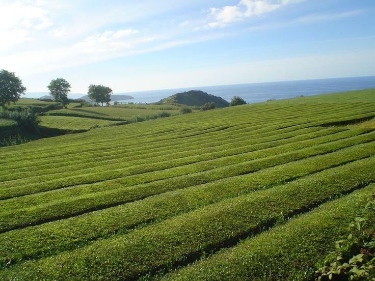 Plantação de Chá nos Açores