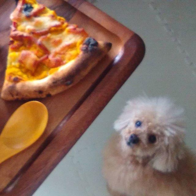 ココア之介の自宅シャンプー&トリミング終えて、ほっと一息。もしかしてピザ、狙ってる⁉ #トイプードル男の子 #トイプードル #プードル #ふわもこ部 #トリミング #自宅トリミング #オリジナルスタイル #ランチ #ピザ #dog #poodle #toypoodles #toypoodle #trimming #original #originalstyle #coffeebreak #pizza #愛犬 #自分ですれば愛犬の調子がわかる