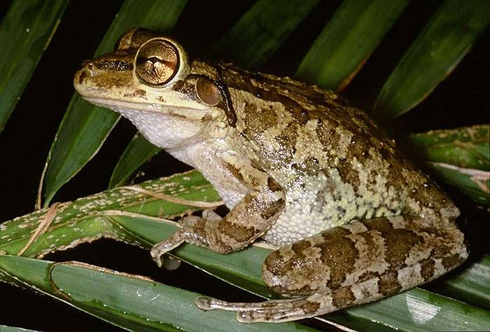 Osteopilus septentrionalis - Cuban Treefrog -- Sighted: Marco Island, Florida