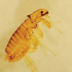 how to use raid for fleas