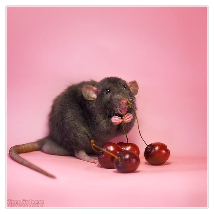 Arkanys 14 - Fancy rat by ~DianePhotos on deviantART