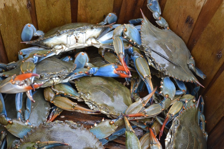 how to open blue crab claws