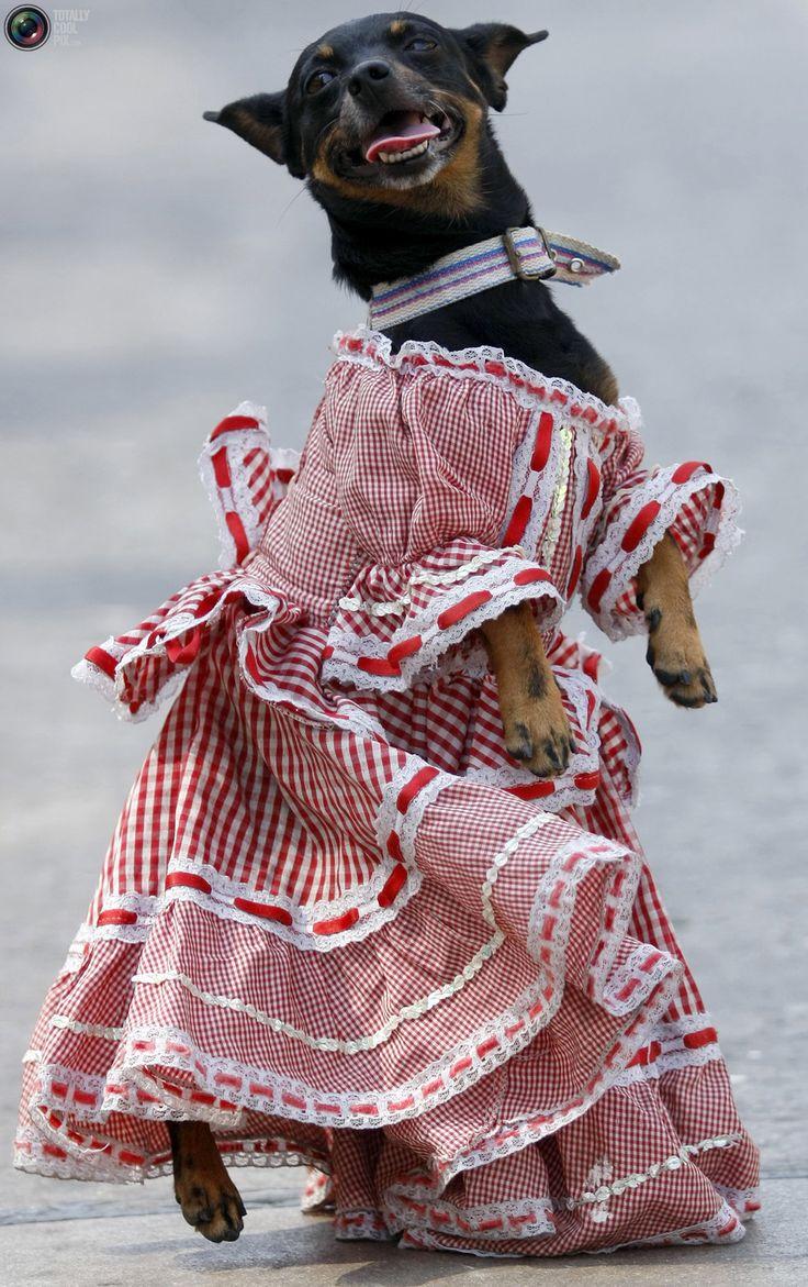 Bailando cumbia en pleno carnaval. Porque quien lo vive es quien lo goza, Carnaval de la Arenosa!!! A dog dressed in traditional Columbia outfit participates during a parade at the Carnaval de Barranquilla in Colombia