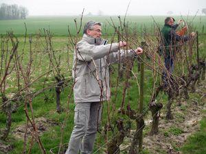 Le tirage des bois : on les enlève des fils de palissage après les avoir taillés - Domaine Stentz-Buecher #GourmetOdyssey
