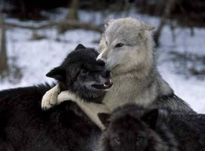 """wolveswolves: """" Gray wolves (Canis lupus) by Grant Faint """""""