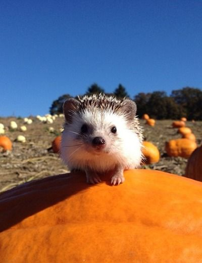 This Hedgehog Is Living a Way More Adventurous Life Than Most of Us