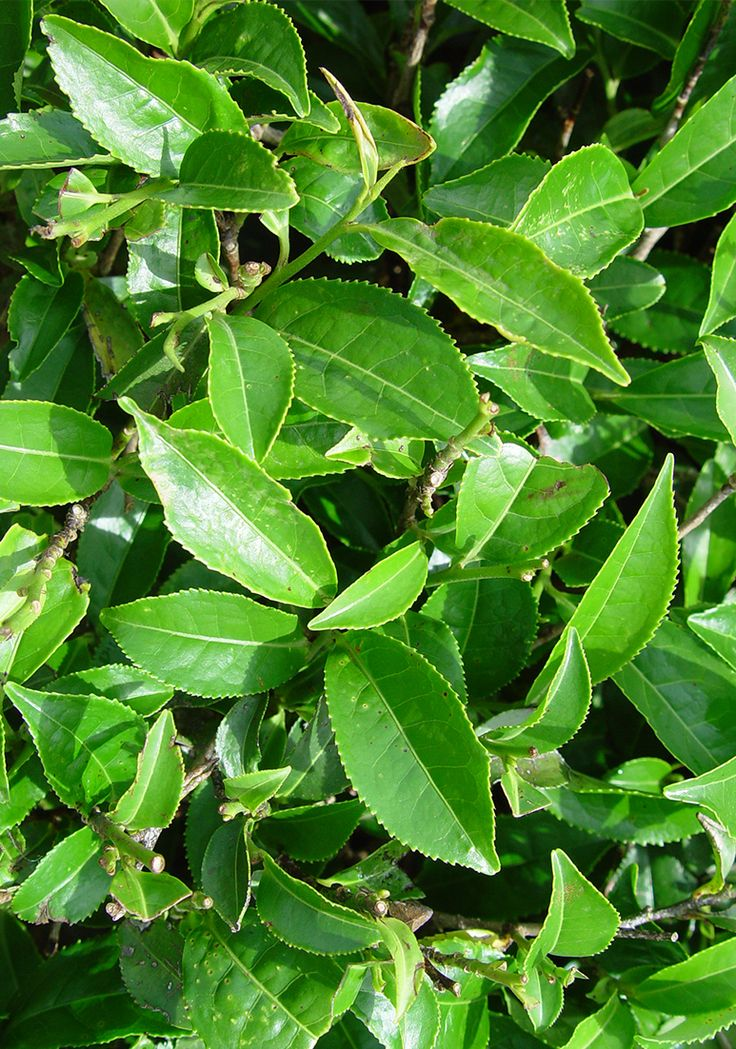 Conform studiilor de specialitate ceaiul este cea mai nutritiva bautura a lumii. La nivel mondial exista peste 500 de specii de ceai care se cultiva in China, Bangladesh, Indonezia, Japonia, Kenya, Sri Lanka etc