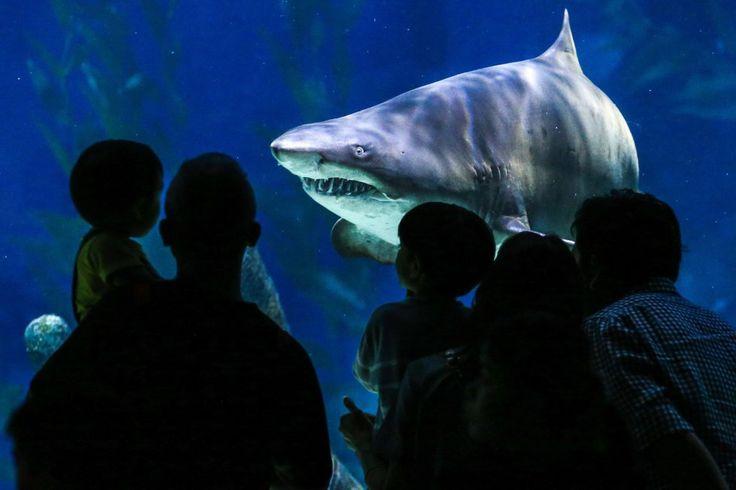 Un enorme tiburón nada en el tanque central del acuario Siam Ocean World, Bangkok, Tailandia (Diego Azubel, 2016)