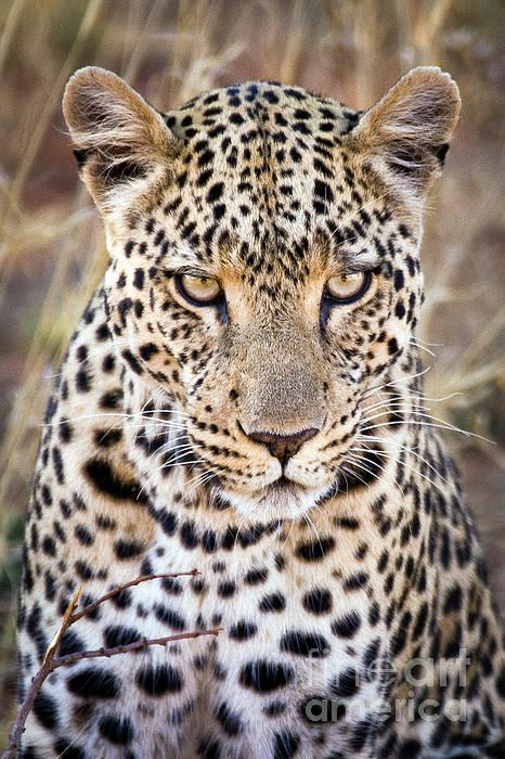 African Leopard Big Cat Canvas Print / Canvas Art by Shannon Smith