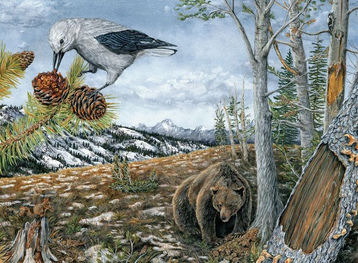 The world of the whitebark pine and the Clark's Nutcracker. Illustration by Misaki Ouchida, Bartels Science Illustration Intern.