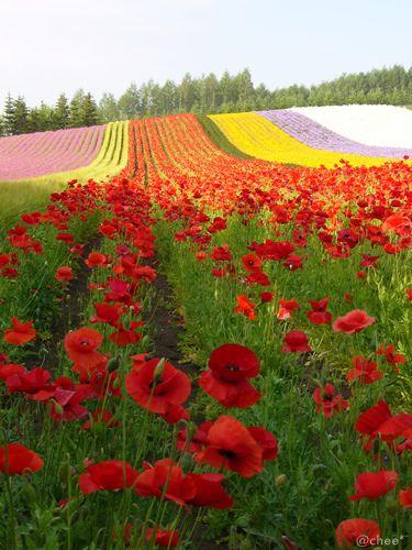 Farm Tomita, Furano, Hokkaido, Japan -  by chee*, via Flickr