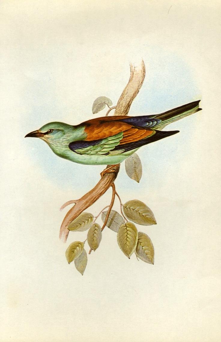 The 25 best John Gould\'s Hummingbirds images on Pinterest | Bird ...