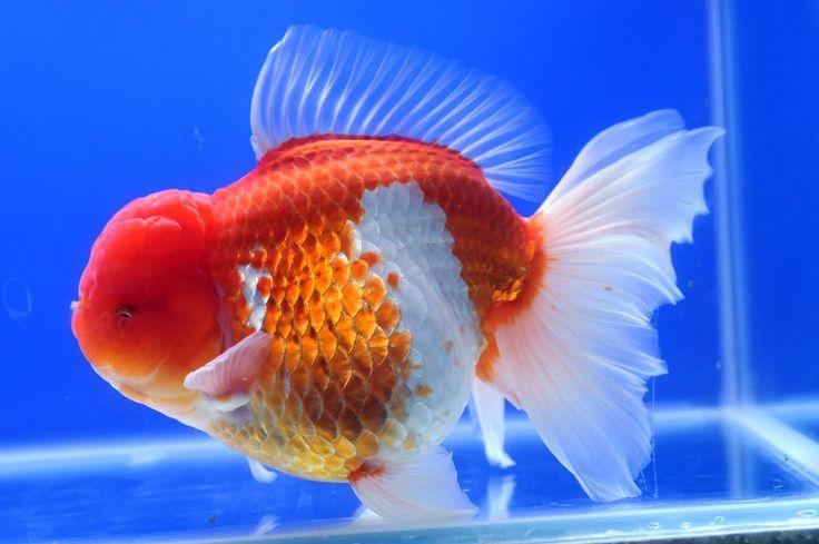Oranda Gold Fish 12