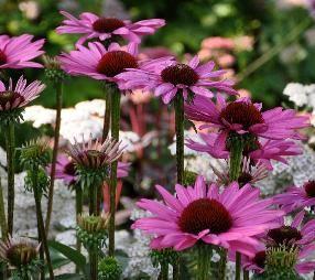 EchinaceaEltonNightVN, bloeitijd juli-oktober