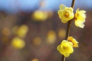Chimonanthus praecox - zimokwiat wczesny