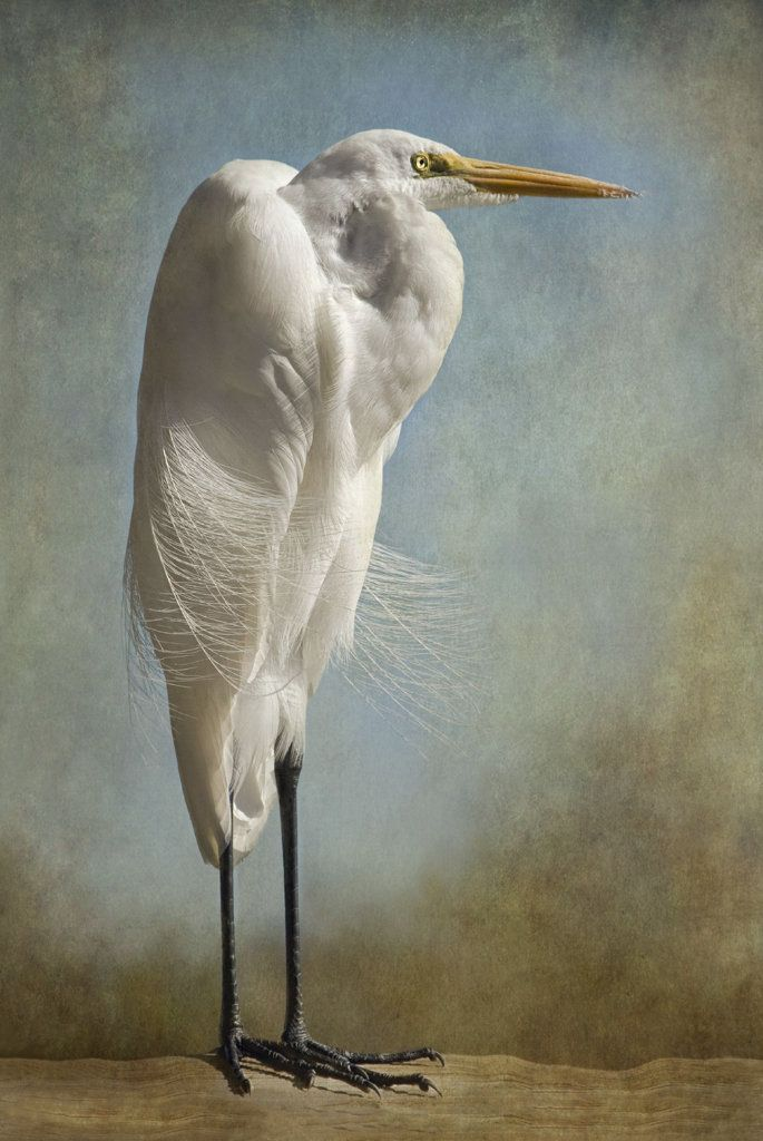 The Royal Egret by Melinda Moore. Great White Egret photographed in the Everglades of Florida. Standing in early morning light with a brisk wind blowing, he seemed to be the Guardian of his space. Moore was inspired to take the image into her digital darkroom and add an old fashioned vignette by layering scanned worn paper onto the image and then tediously brushing it away, creating the aged weathered look. Part of recently acquired collection for the decor of the elite Ocean Reef Club in…