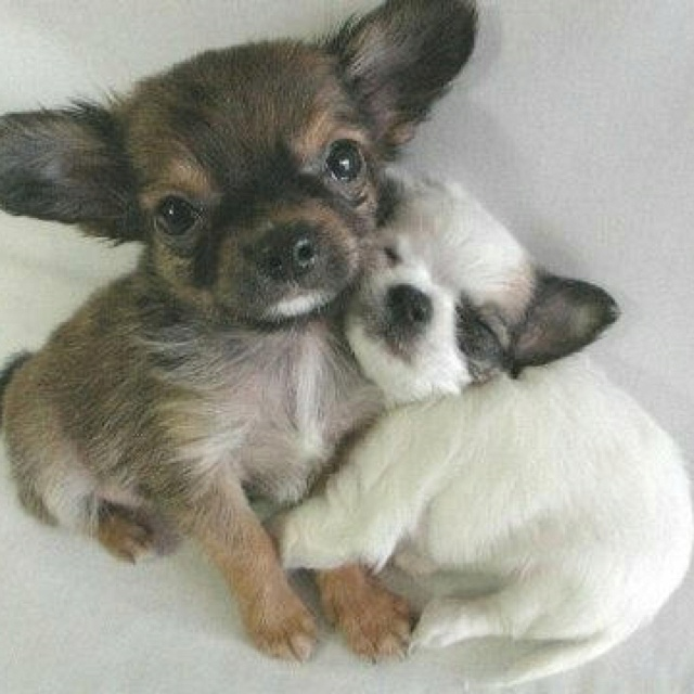 Awwww....: Cute Animal, Best Friends, Sweet, Bestfriends, Puppys Love, Chihuahua, Photo, Cute Dogs, Adorable Animal