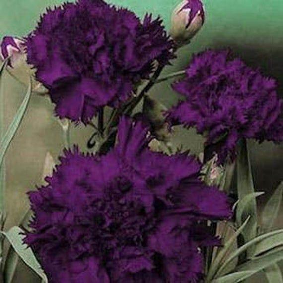 King Of Blacks Carnation Flower Seeds Dianthus Caryophyllus Grenadin Biennial 30 Purple Carnations Flowers Perennials Carnation Flower