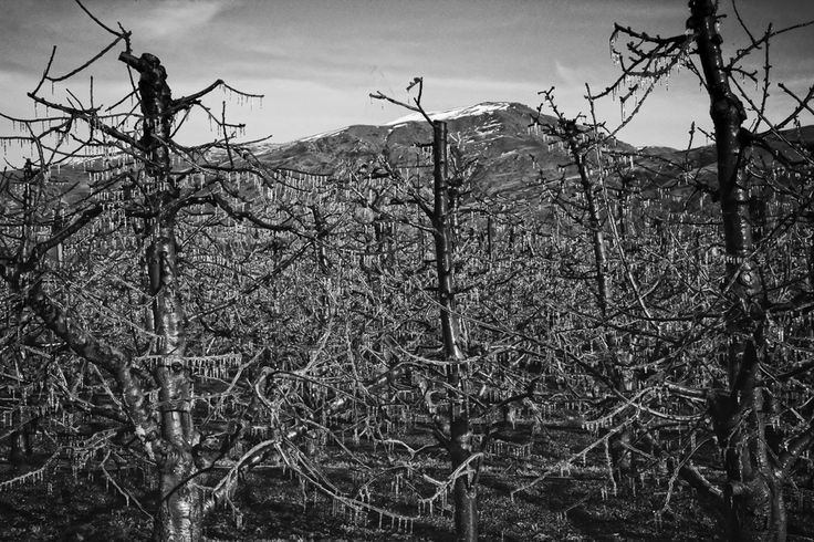 Trees insulated by ice as a result of Frost Fighting near Cromwell in the Central Otago Region.   Water is sprayed on the trees when the air temperature reaches freezing level, forming an insulation layer protecting their fruit from frost damage.
