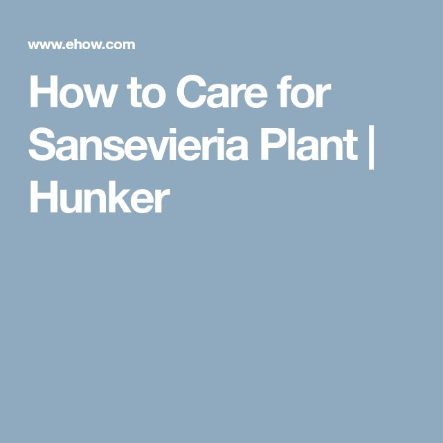 How to Care for Sansevieria Plant | Hunker