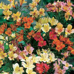 Alstroemeria Peruvian Lily Mixed Pre-Packed Perennials 3 Per Pack