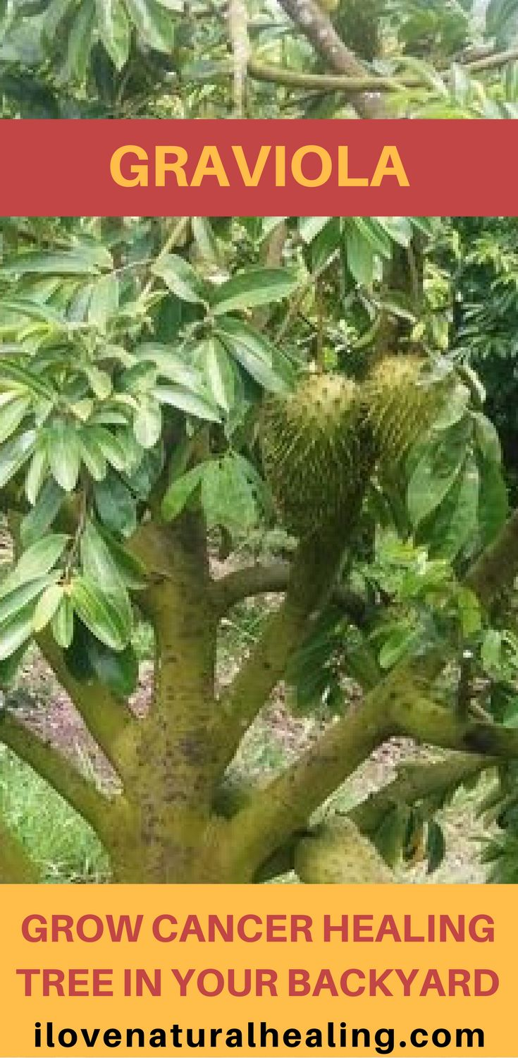 Graviola - Grow Cancer Healing Tree In Your Backyard. Watch the video and find out how this fruit (soursop) can heal your body.