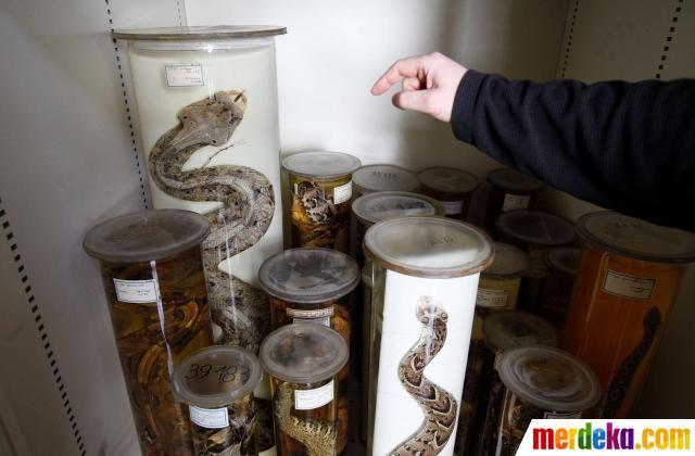 Ular diawetkan disimpan dalam tabung laboratorium di Museum Naturhistorisches (Museum of Natural History) di pusat kota Wina, Austria.