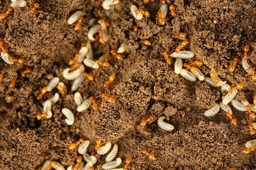 Home Remedies to Get Rid of Fire Ants | Fire ants, Kill ...