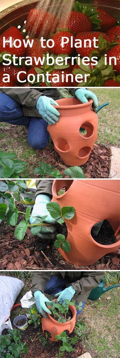 How to Plant Strawberries in a Container