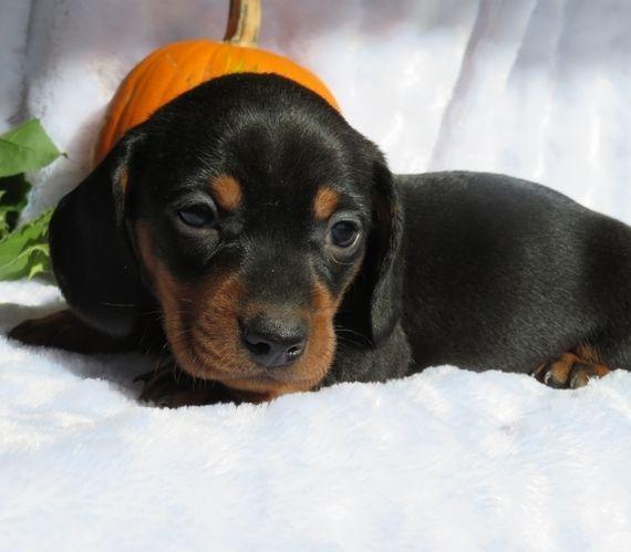 Tucker Dachshund Puppy 571477 Puppyspot Dachshund Puppies