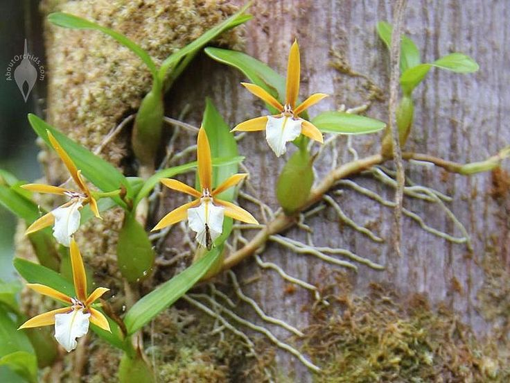 epidendrum orchid care instructions