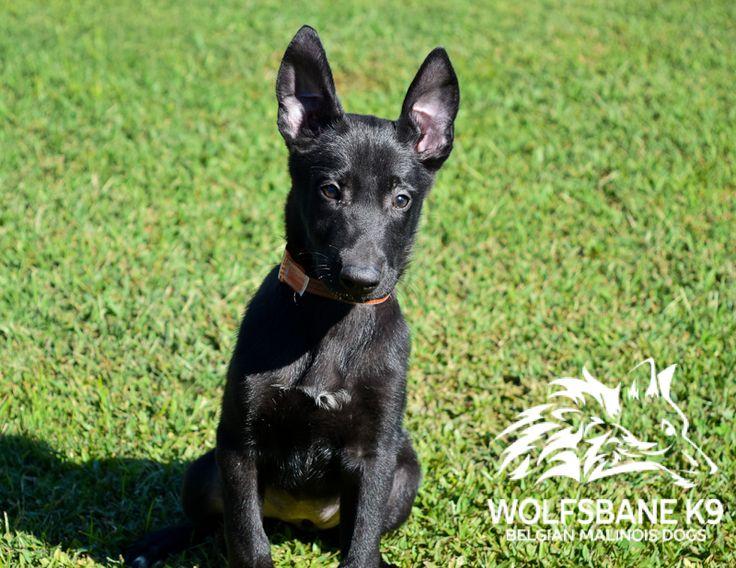 Black Belgian Malinois Puppy.