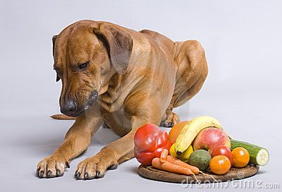 A beautiful nice looking  rhodesian ridgeback is chewing one of carrots. He has a plate with different vegetables as food today.