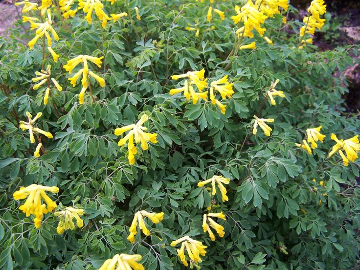 corydalis lutea - Google Search