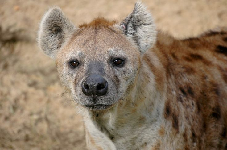 Hyäne, Tierwelt, Afrika, Säugetier, Natur, Tier, Wild