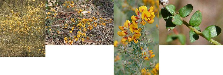 pultenaea gunnii - Google Search