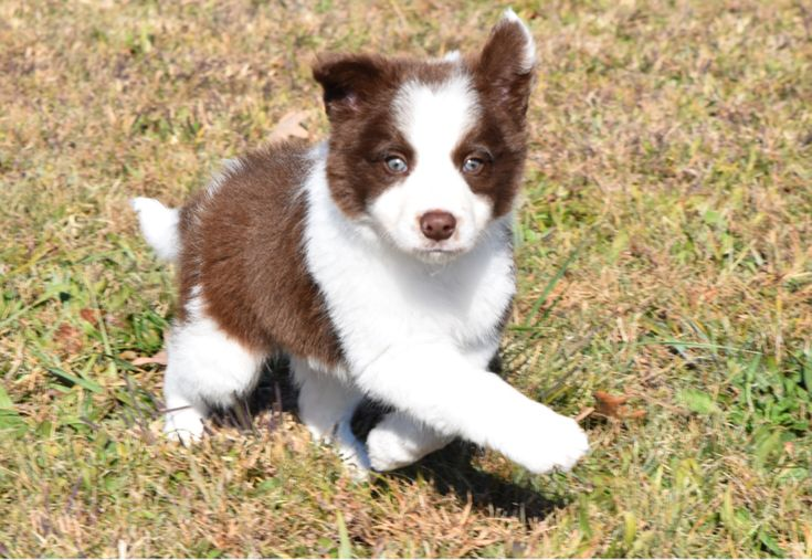 Kaixin, a red and white Border Collie puppy, running and playing on a crisp autumn day. #BorderCollie