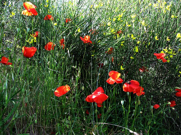Coquelicots Poppies  #Luberon #provence