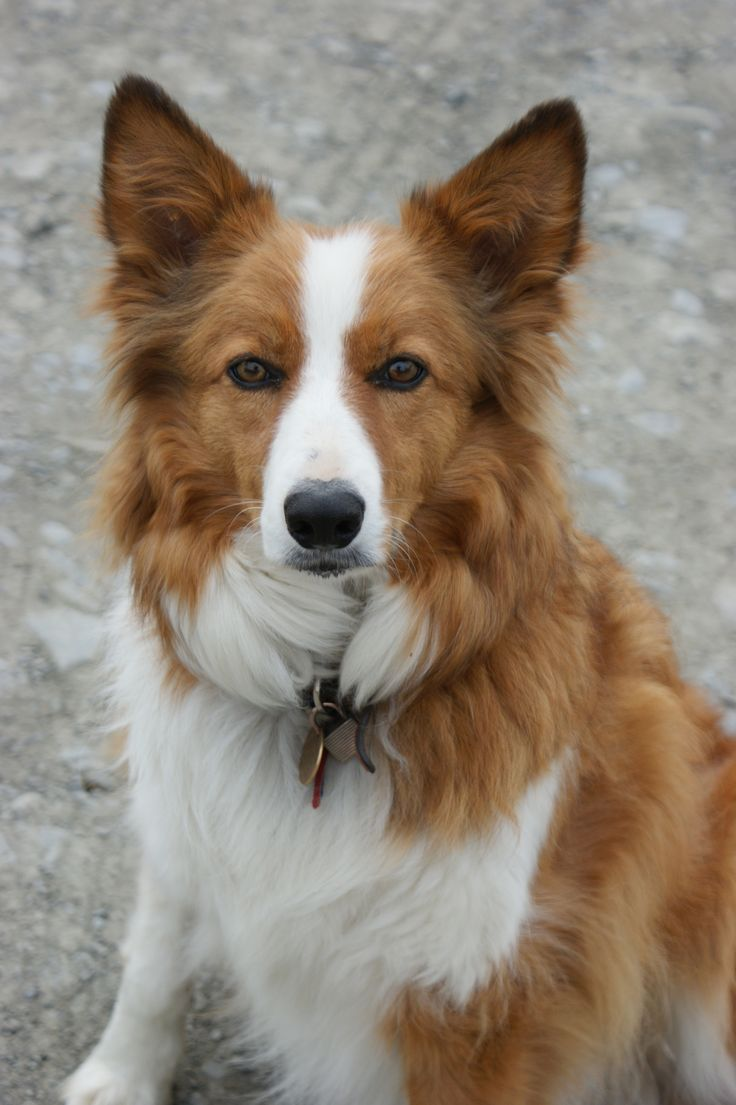 Welsh Border Collie / Welsh Sheepdog #Dogs