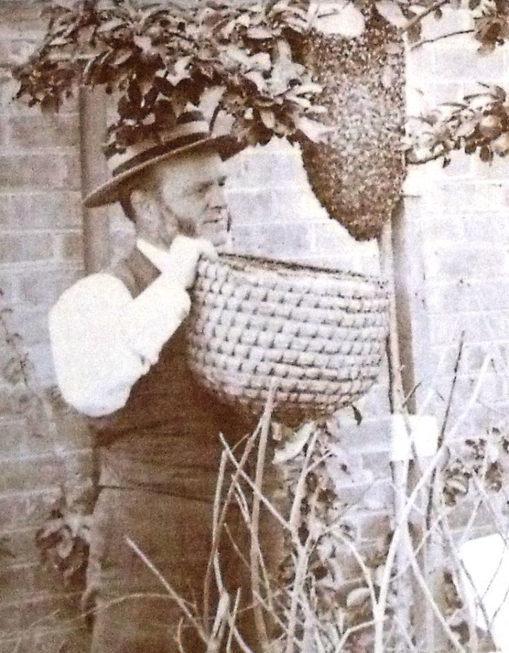 Photograph of a beekeeper gathering a swarm of bees. He uses a skep and notice he is not wearing any protection.