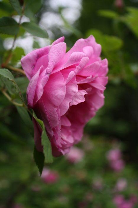 Rosa Therese Bugnet, Teresanruusu