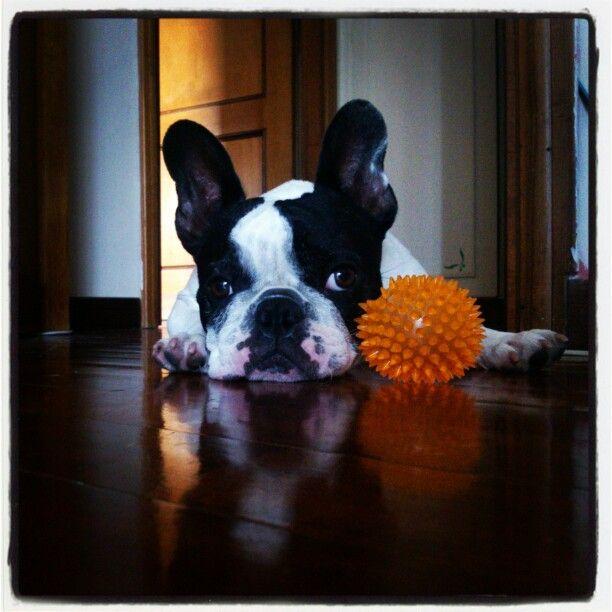 #TiredFrenchie #Frenchie #FrenchBulldog