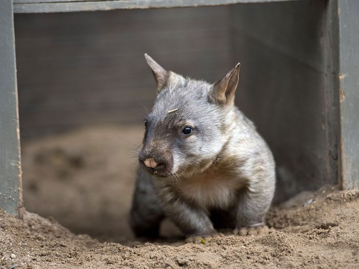 Why are you being shy, baby wombat?