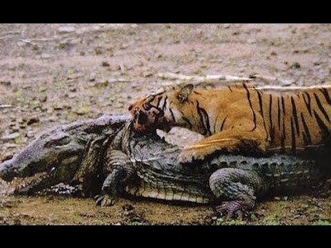 Saltwater crocodile vs tiger - photo#33
