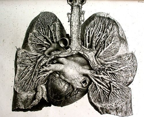 anatomical drawing heart and lungs from anatomie de l homme by